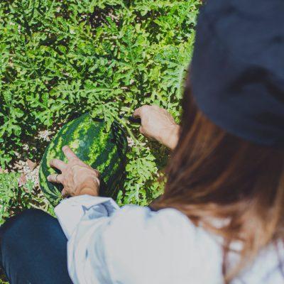 Organically grown watermelon in our garden